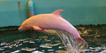 The dolphin who turns Pink when he angry or sad - Incredible pics