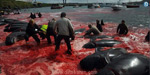 1,428 dolphins killed in a single day in the Faroe Islands of Denmark !: Beach turned red .. !!