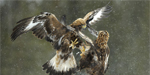 Female golden eagle thrashed male eagle for venturing into her territory