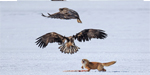 Crafty fox finds out the hard way why you should never steal food from an eagle