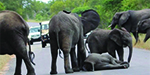 Amazing moment herd comes to rescue  baby elephant after it collapses on a busy road