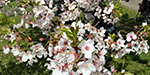 Flowering Cherry Flowers in Europe: Tourists are enthusiastic