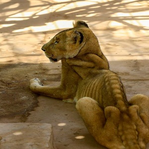 Sudan in famine: Lions that look like bone and skin without food; Photos of heartbreak