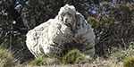 Sheep was burdened with 40 kg fur - Featured Images