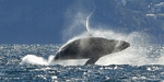 Gray whale smashes mammal migration record