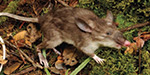 Hog nosed shrewd rat with curiously long pubic hair discovered