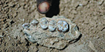 New species of early hominid lived alongside 'Lucy' 3.4 million years ago found