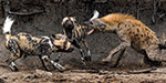 Hyena cunningly escaping from wild dogs