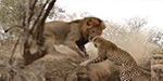 Jaw-dropping moment a stealthy lion stalks a sleeping leopard before attacking it in a sudden strike