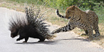 Leopard chased porcupine - unfortunately leopard fall down