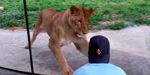 Lion chase the vistors and paw them at zoo