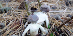 New species of mushroom that appears to resemble human heads, arms and legs discovered