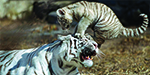 Tiger cub pesters Mum, in pictures