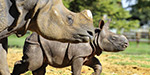 Rhino comes with a stroll happily embrace her one-month-old calf