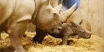Rhino who weighed 50kg at birth takes tentative first steps while being watched by his mother