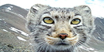 Up close and personal with the Siberian wildcats driven to the brink of extinction by predators and poachers hunting their fur
