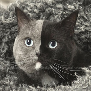 Half of the gray, half black ... the strange cat in the world with two faces