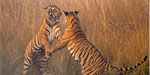 Tiger cubs tries for salsa dance !!