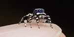 Australia saw a foothold in the world's most beautiful spider