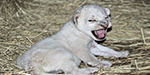 African lion gives birth to adorable male cub with rare white fur at Texas zoo