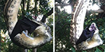 Shocking moment a giant python swallows a huge BAT as it hangs from a tree..
