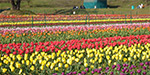 34th Floral Festival in the Valley of Skajith in the United States: Flowers Tulip Flowers