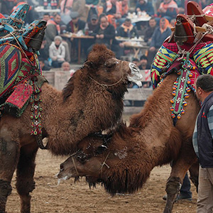 turkeycamelfight