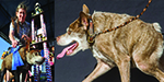 World ugliest dog contest - in pictures
