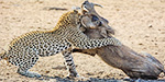 Bearish attack:  Leopard attacked the sleeping wild pigfor its hunger preyed