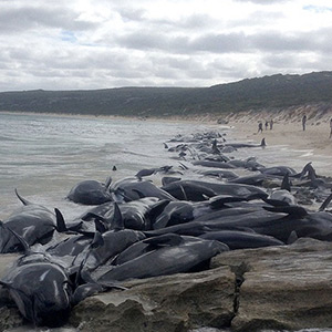 In Australia, 150 whales were sealed off