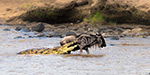 Wildebeest escapes jaws of hungry crocodile with only a flesh wound as it crosses river