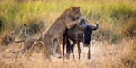 Lioness teaches her cubs how to hunt and kill wildebeest in the wild