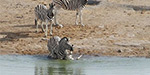 Zebra desperately defends her foal when a vicious male tries to drown it at a watering hole