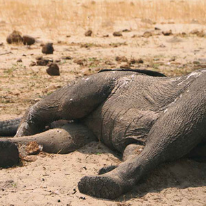 Hundreds of wildlife deaths, including 200 elephants, in unprecedented drought in Zimbabwe