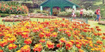 Coonoor Sims blooming with flowers in the park