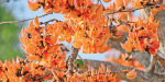 In the summer blooming 'flame of the Forest' blossoms in torappalli