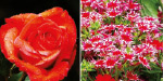 The summer festival begins at Kodaikanal with the grand flower exhibition