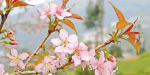 Started early, 'Cherry' flowers Surprised tourists found