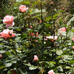 Tourists are delighted with the flowering roses in Kodaikanal Bryant Park