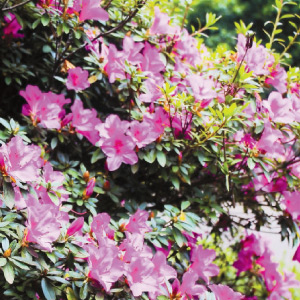 Aussia flowers bloom at Ooty State Botanic Gardens